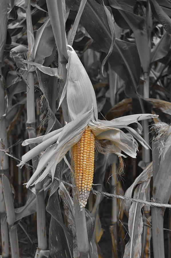 Corn Photograph - Ear Of Corn by Thomas  MacPherson Jr