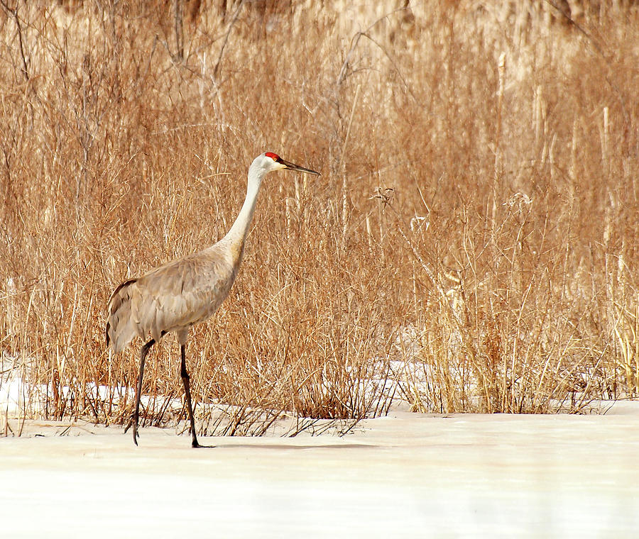 Sandhill Crane Photograph - Early Arrival by Thomas Young