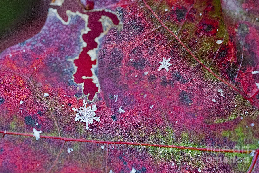 Snow Flakes Photograph - Early Fall Snow Flakes by Dan Friend