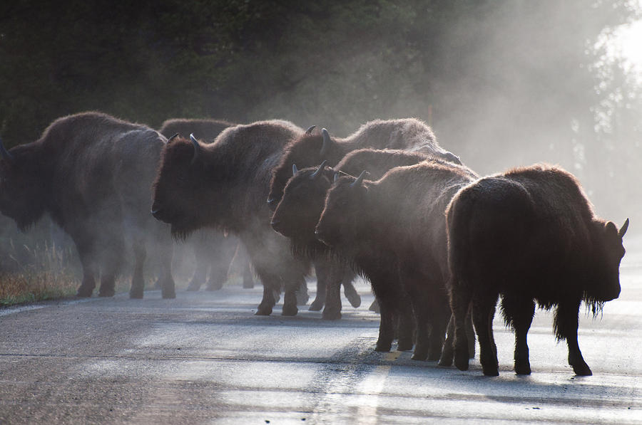 Bison Photograph - Early Morning Road Bison by Bruce Gourley