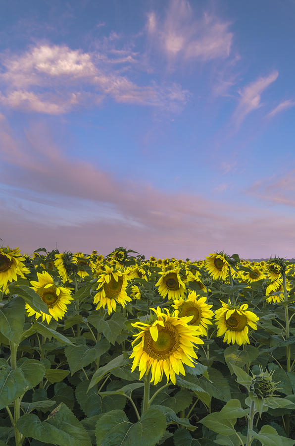 Bates Road Photograph - Early Morning Sunflowers by Thomas Pettengill