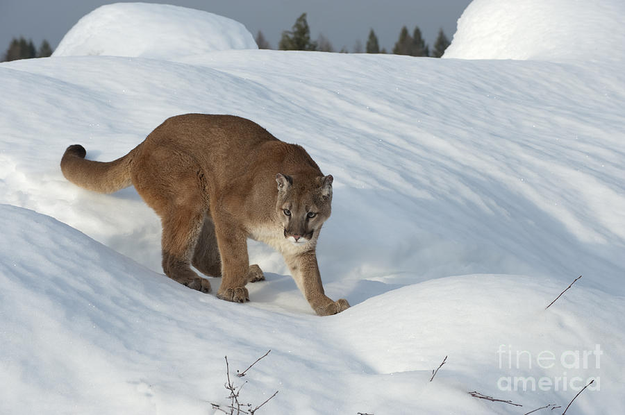 Cougar Photograph - Early Morning Survey by Sandra Bronstein
