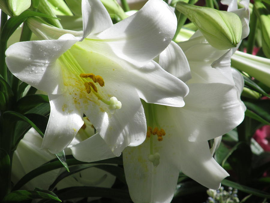 White Flower Photograph - Easter Lily by Alfred Ng