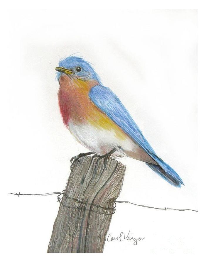Eastern Blue Bird Drawing By Carol Veiga