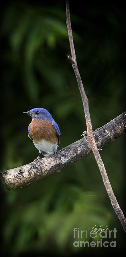Eastern Photograph - Eastern Blue Delight by Cris Hayes