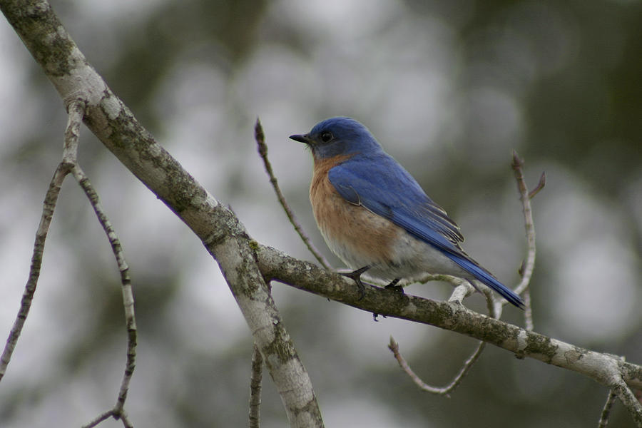 Eastern Bluebird by CE Haynes