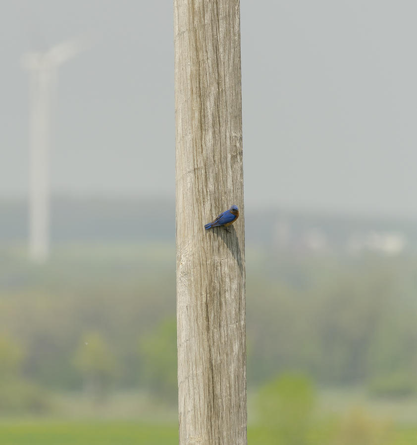 Eastern Bluebird On A Telephone Pole Photograph
