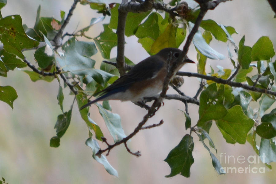Bluebird Prints Photograph - Eastern Bluebird by Ruth  Housley