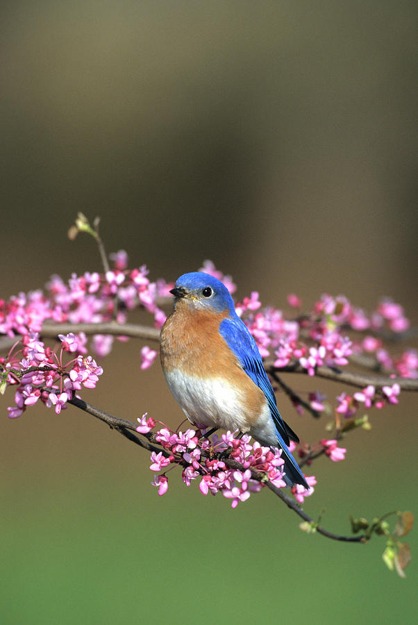 Avian Photograph - Eastern Bluebird (sialia Sialis by Richard and Susan Day