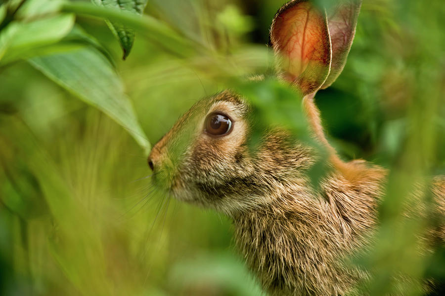 Eastern Cottontail Photograph by Copyright Michael Cummings