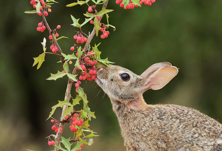 Adult Photograph - Eastern Cottontail Eating Agarita by Rolf Nussbaumer