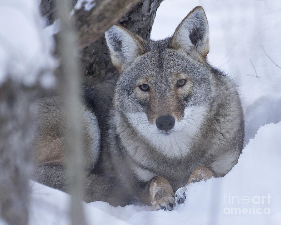 Nature Photograph - Eastern Coyote In Winter by Deborah Smith