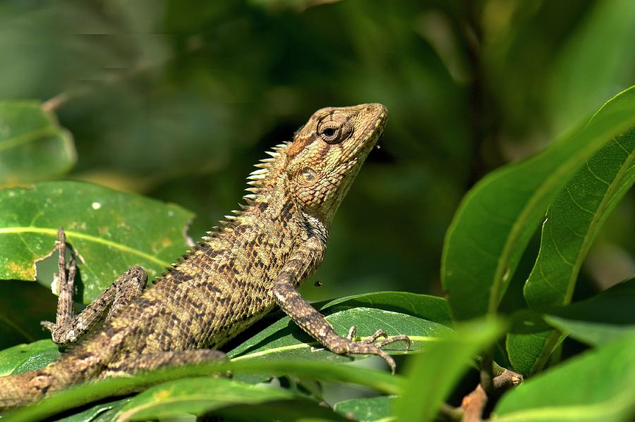 asia photograph eastern garden lizard by k jayaram - Garden Lizard