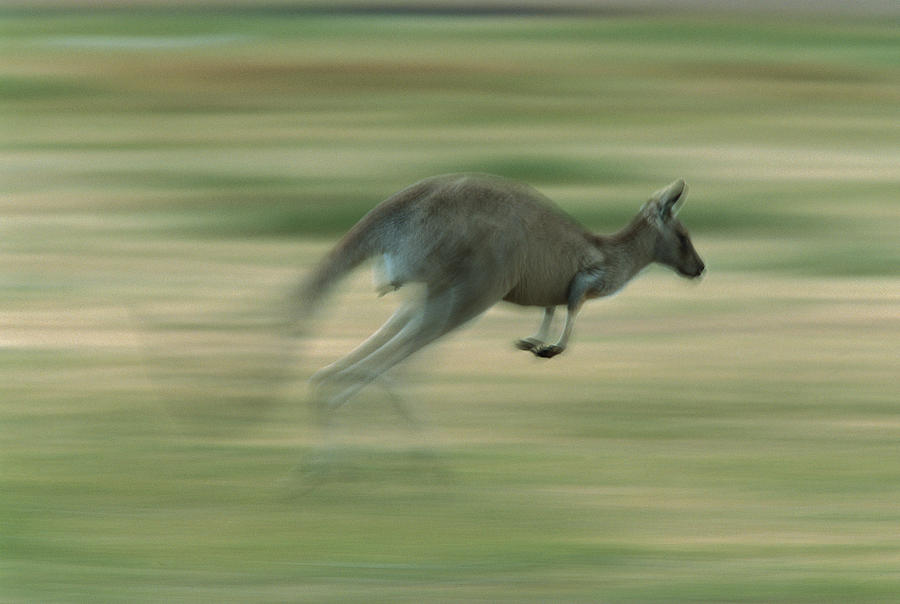 Australia Photograph - Eastern Grey Kangaroo Female Hopping by Ingo Arndt