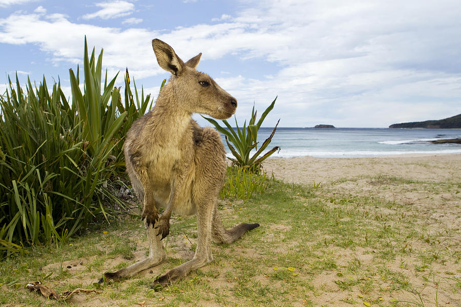 Eastern Grey Kangaroo Pebbly Beach Photograph by Sebastian Kennerknecht