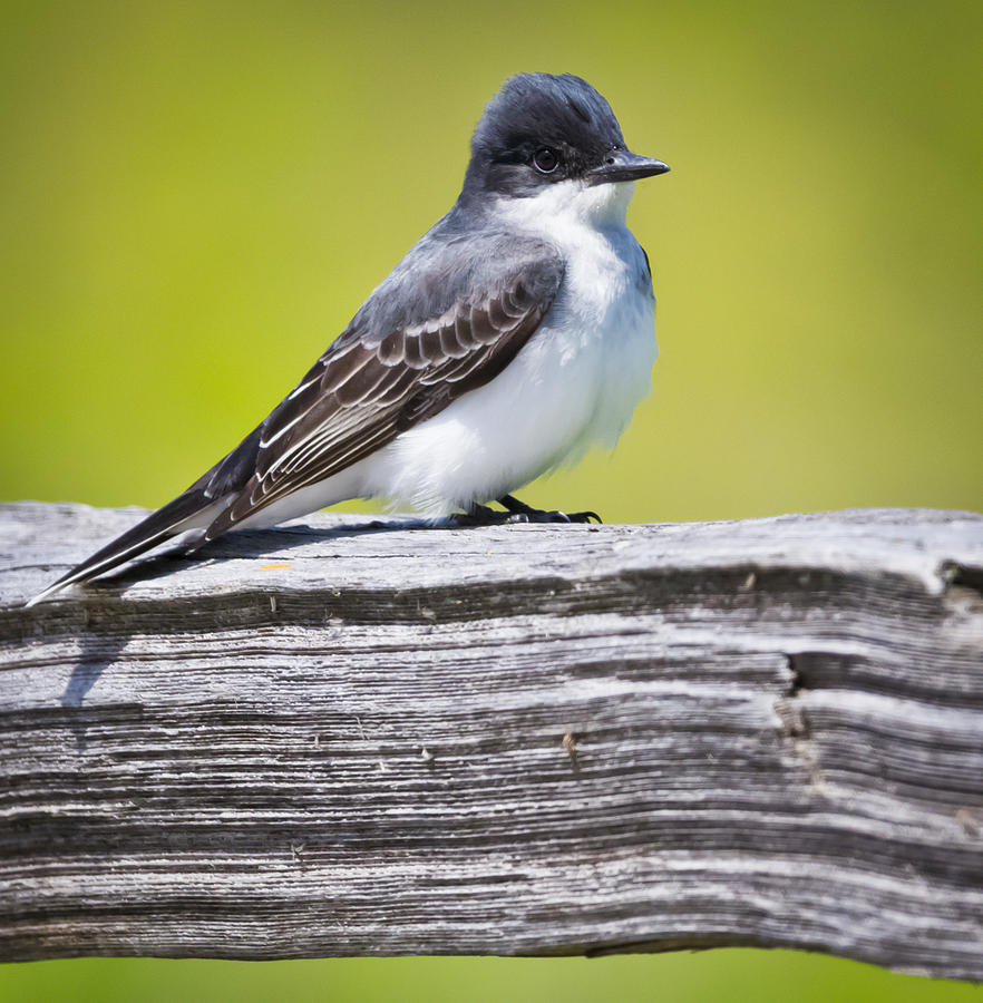Canon Photograph - Eastern Kingbird by Ricky L Jones