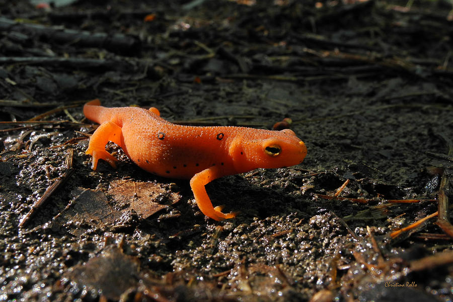 Eastern Newt Photograph - Eastern Newt Red Eft by Christina Rollo
