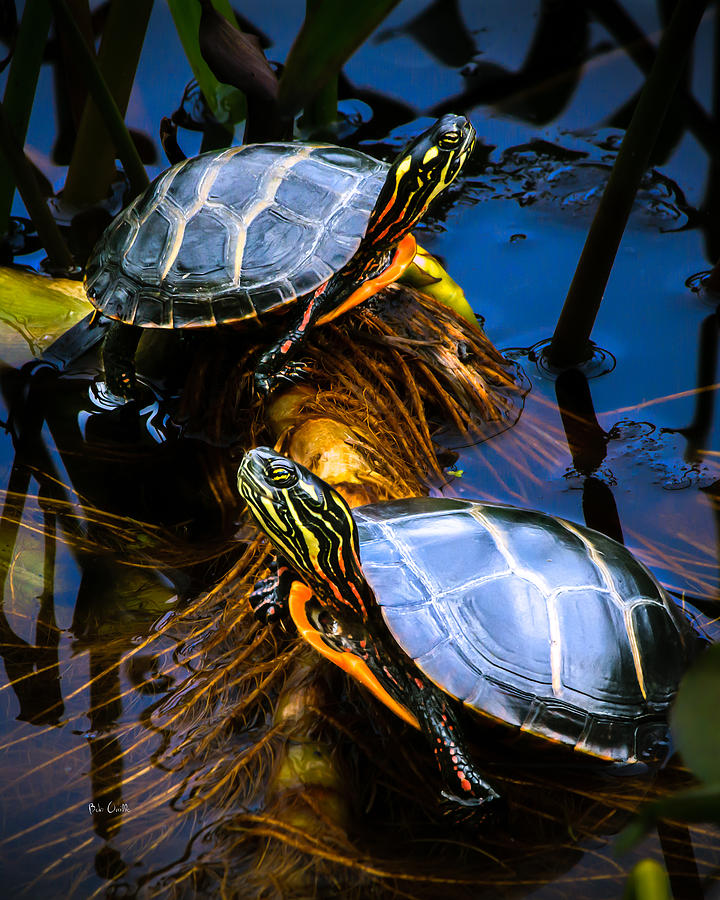 Reptile Photograph - Eastern Painted Turtles by Bob Orsillo