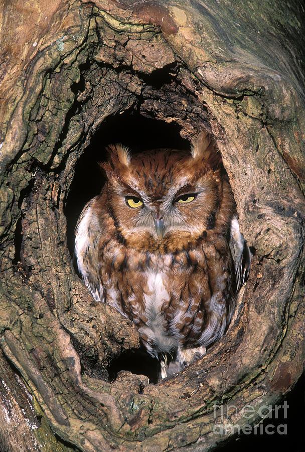 Red Photograph - Eastern Screech Owl - Fs000810 by Daniel Dempster