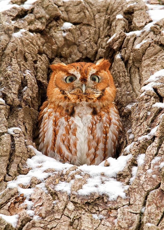 Owl Photograph - Eastern Screech Owl by Joshua Clark