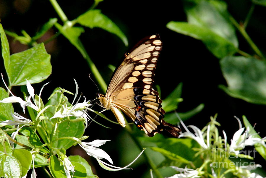 Eastern Swallowtail Butterfly Photograph