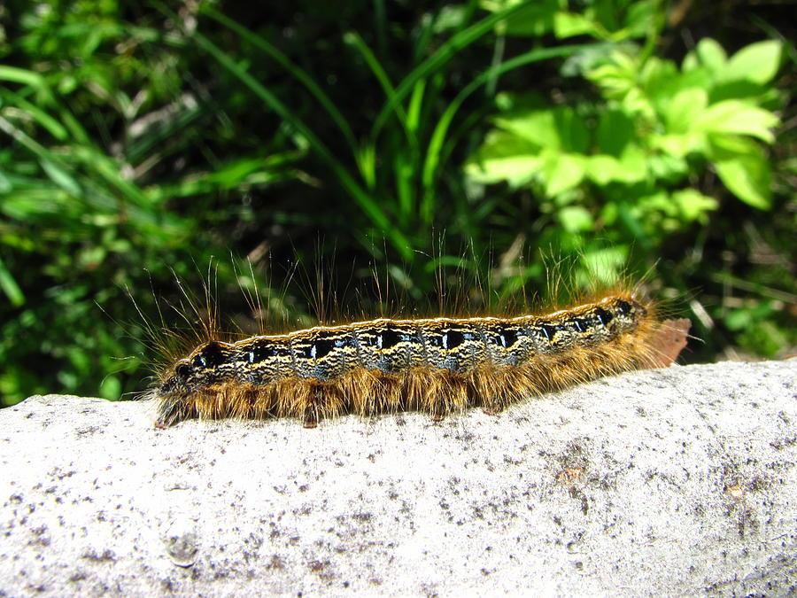 Eastern Tent Caterpillar Photograph by Joshua Bales