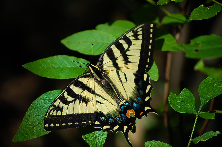 Butterfly Photograph - Eastern Tiger Swallowtail by Bianca Nadeau