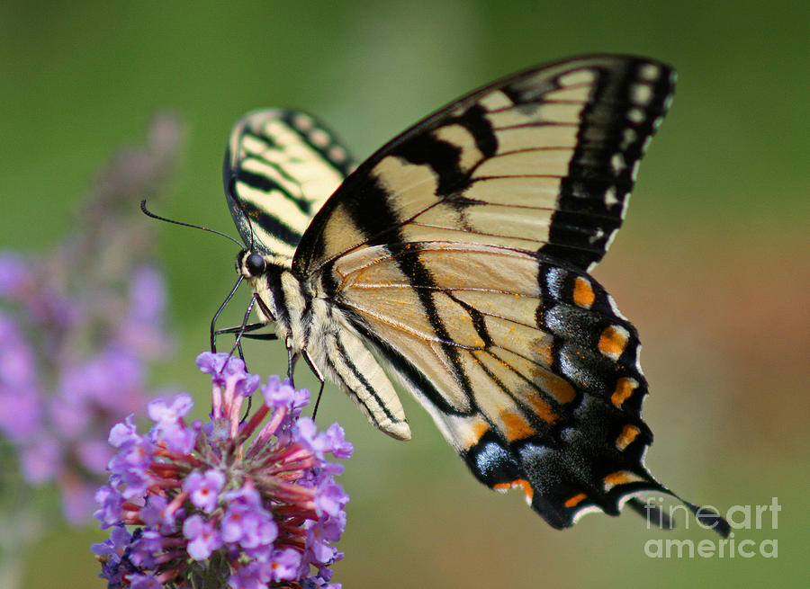 Lavender shower curtain - Eastern Tiger Swallowtail Butterfly Photograph By Karen Adams