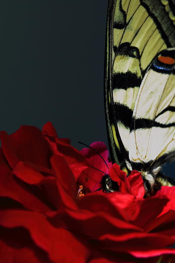 Butterfly Photograph - Eastern Tiger Swallowtail by Cody Arnold