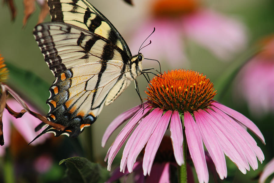 Pink Photograph - Swallowtail And Coneflower by Janice Adomeit