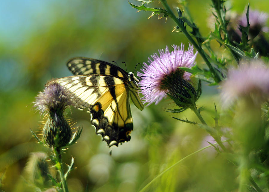 Eastern Tiger Swallowtail on Thistle by Rebecca Sherman