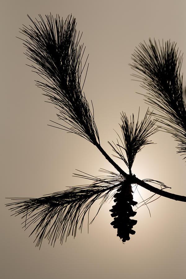 Pine Photograph - Eastern White Pine by Gaurav Singh