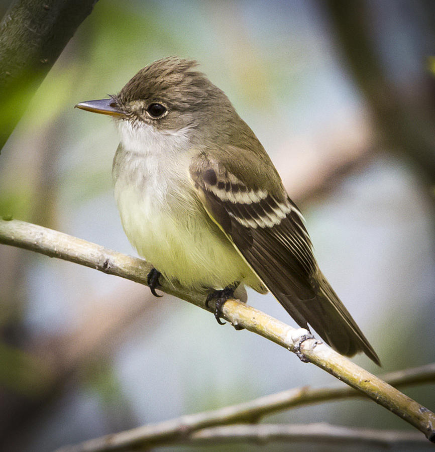 Canon Photograph - Eastern Wood-pewee by Ricky L Jones