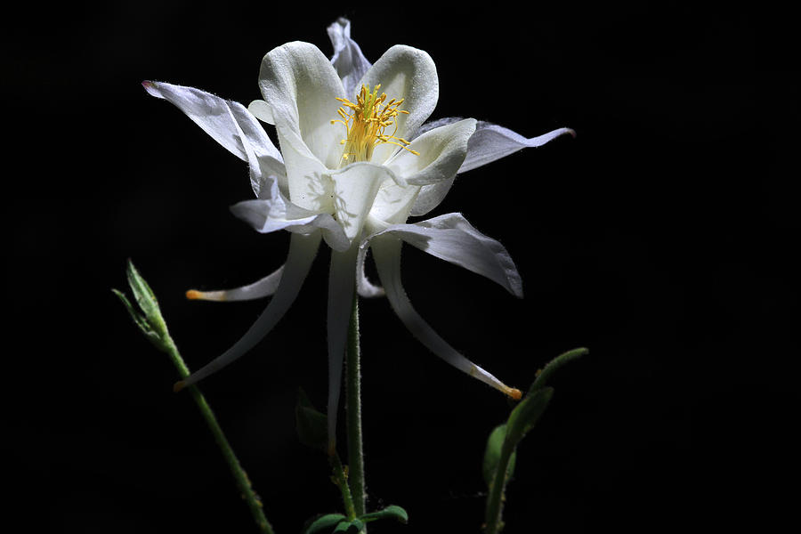 Columbine Photograph - Ebony And Ivory by Donna Kennedy