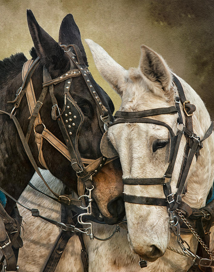Equine Photograph - Ebony And Ivory by Ron  McGinnis