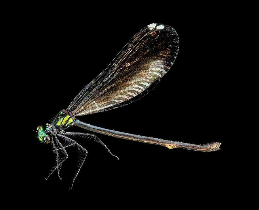 Identification Photograph - Ebony Jewelwing Damselfly by Us Geological Survey
