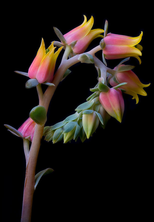 Echeveria by Kim Aston