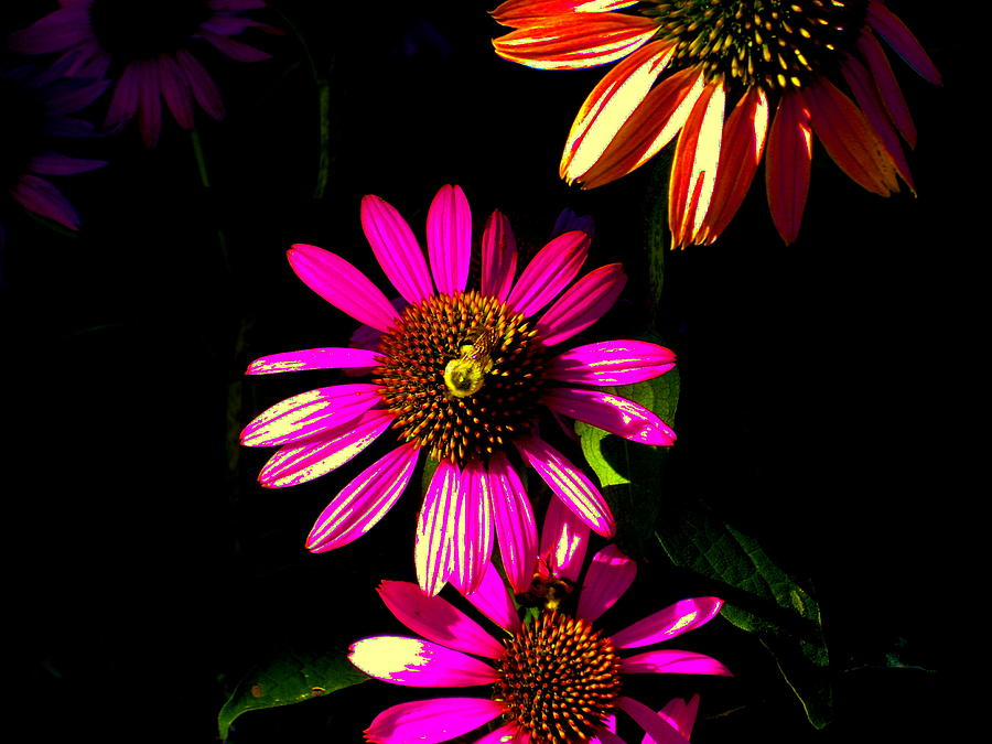 Psychedelic Digital Art - Echinacea In Hot Pink by Karla Ricker