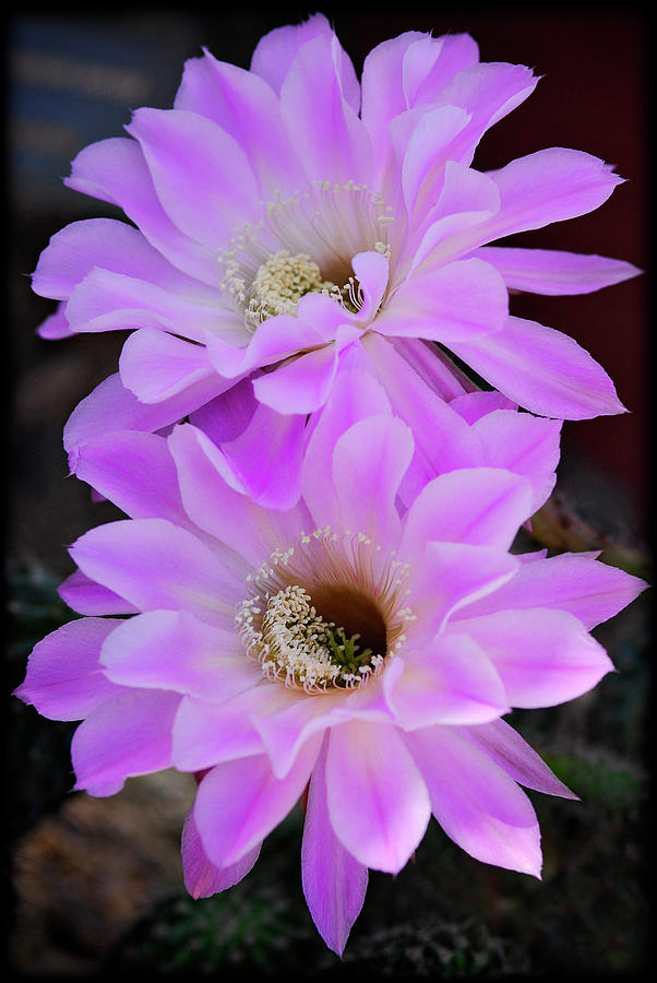 Pink Cactus Flower Photograph - Echinopsis Aurea by Saija  Lehtonen