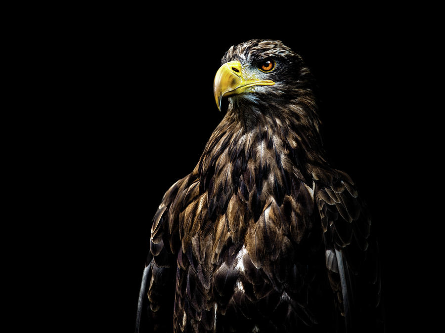 Eagle Photograph - Ego by Christian Lechtenfeld