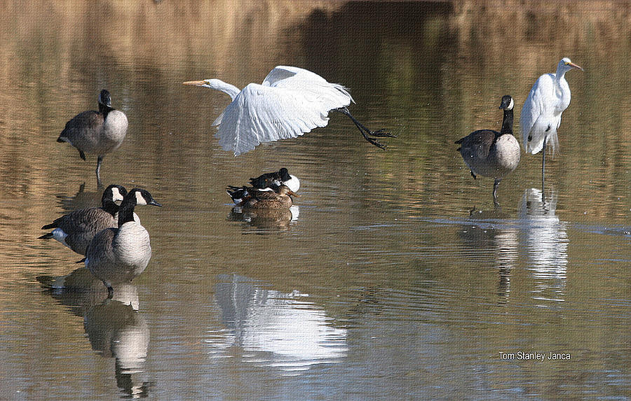 Egret And Geese At Gilbert  Riparian Preserve Photograph by Tom Janca