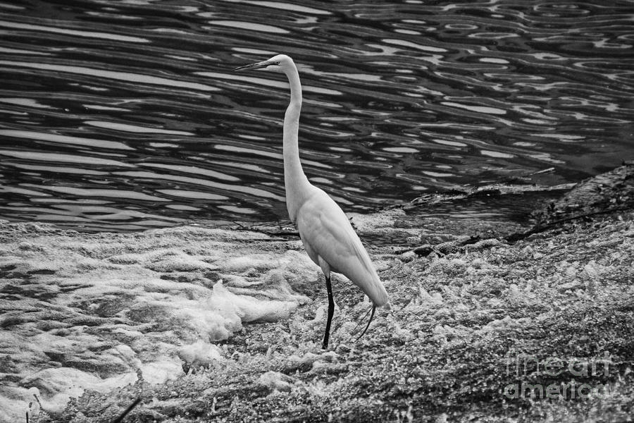 Black and white egret - photo#31