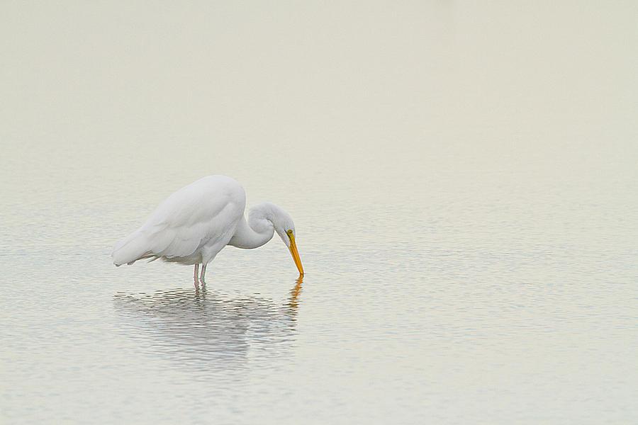 Great Egret Photograph - Egret Finds Himself by Karol Livote