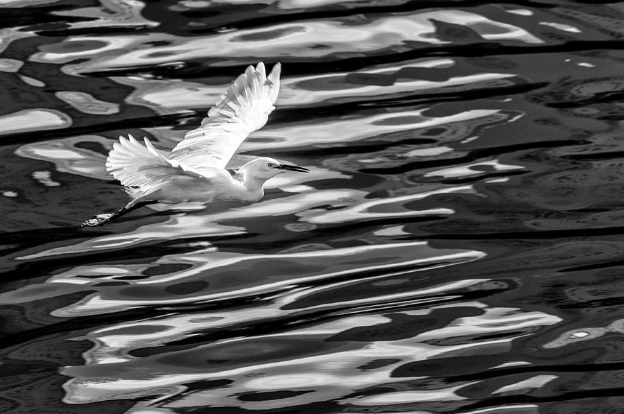 Balneario Camboriu Photograph - Egret Flying  by Jose Maciel