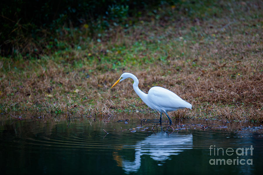 Egret Hunting For Lunch Photograph