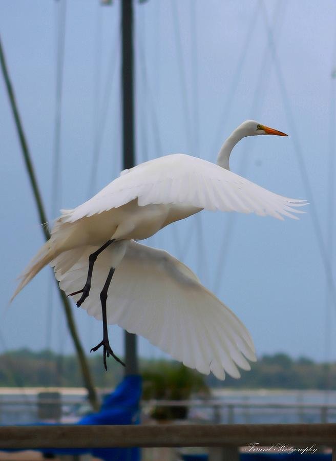 Egret Photograph - Egret In Flight by Debra Forand