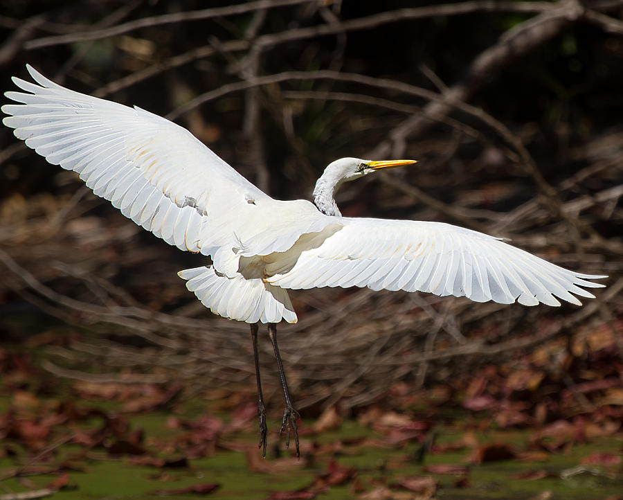 Wildlife Photograph - Egret In Flight by Mr Bennett Kent