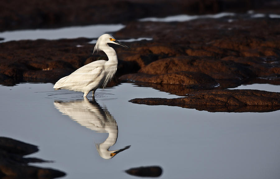 Snowy Egret Photograph - Egret in Tide Pool  MG_9631 by David Orias