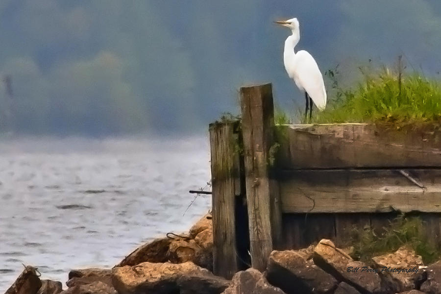 Bird Photograph - Egret On Dock by Bill Perry