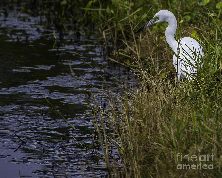Egret On The Hunt Photograph